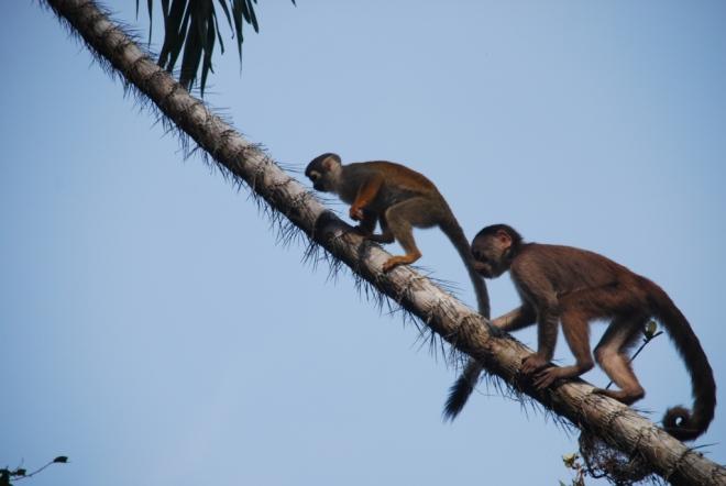 Singes capucucins et singes écureuils ensemble