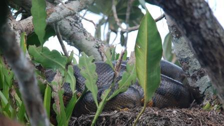Un morceau d'anaconda (mais on vous jure qu'il est gros !)
