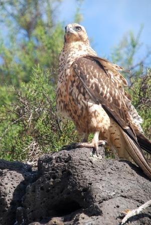 Galápagos Falcon