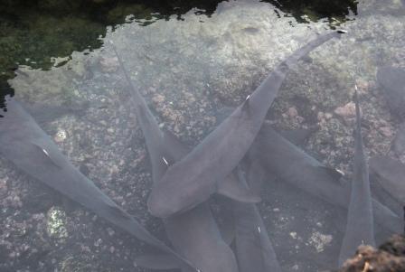 Ces requins là viennent carrément se reposer à côté de la plage !!
