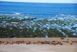 Les colonies de lions de mer à la Punta Norte