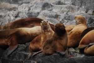 Oh encore des lions de mer !!