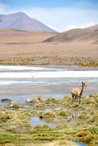 Une vigogne au bord de la Laguna Colorada