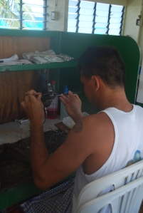 La greffe d'une huître perlière à Rangiroa