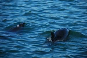 """Les dauphins """"bottleneck nose"""" dans la Bay of Islands"""