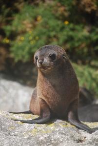 Donc ça c'est un phoque à fourrure, rien à voir avec un sea lion !