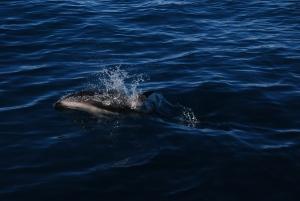 Notre premier Dusky Dolphin