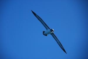 Un albatros royal, envergure à peu près 3m