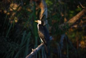 Un cormoran, peinard dans la lumière du soir