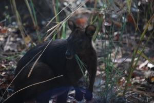 Un black wallaroo (la contraction australienne du wallabie et du kagourou ?)