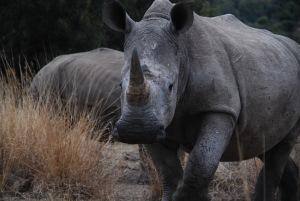Bon là, c'est un rhino blanc : un bon point à celui qui nous dit pourquoi on l'appelle comme ça (attention, il y a un gros piège)