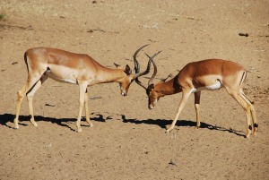 Des impalas (l'animal de loin le plus fréquent ici)