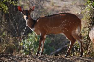 Un bushbuck, le sosie de Bambi