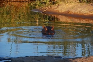 Un hippo timide