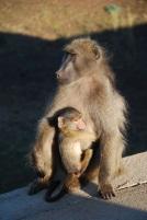 Un babouin, juste avant que les lions ne le coursent d'ailleurs...
