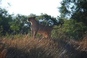 Une lionne en train de regarder avec envie un babouin dans un arbre voisin