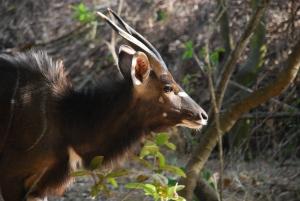 Un nyala (l'antilope préférée de Vincent)