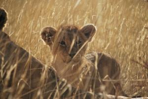 Et ouais, la lionne n'etait pas seule ! Il est pas trop chou lui ?