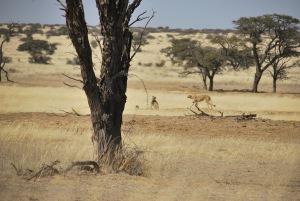 Bon d'accord ils sont un peu plus loin que la lionne mais ce sont les tout premiers guepards que l'on observe (une mere et deux jeunes)