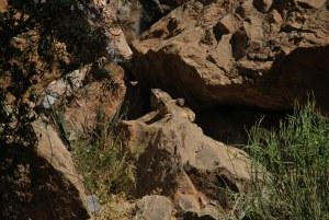Les rock dassies dont on parlait plus haut, des petites marmottes en plus joufflu