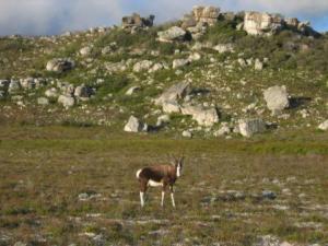Un bontebok perdu dans la lande