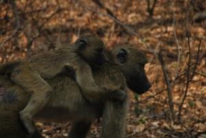 Des babouins chacma qui se promenent pres des chutes