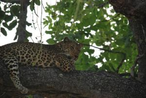 Jamais vu un leopard d'aussi pres : juste au dessus de la jeep !