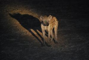 Une hyene