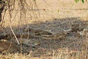 Et toutes les lionnes vautrees a cote....