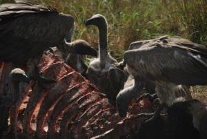 Apres les lions, ce sont les vautours qui sont a la fete