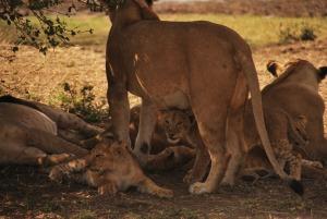 Ouh les pitits lions !