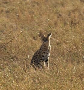 Un serval : c'est la premiere fois qu'on en voyait un !