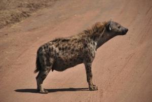 Une hyene un peu obese (ou enceinte)